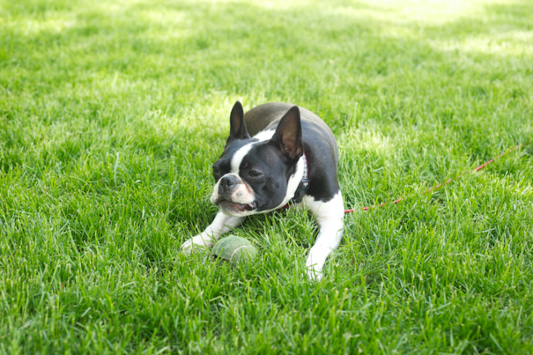 boston terrier playing with tennis ball in grass